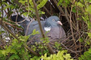 nid de pigeon