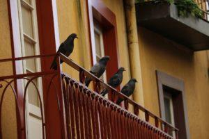 pigeon balcon