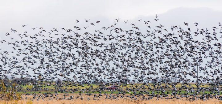 Une colonie d'étourneaux