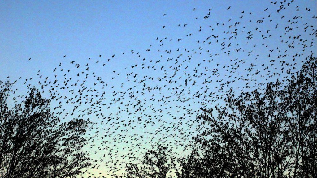 Des oiseaux migrateurs